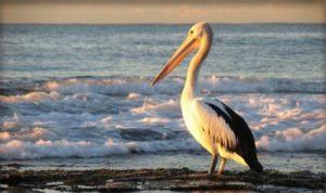 Pelican-pic
